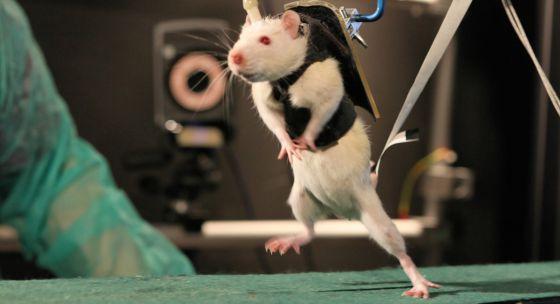 Ratas parapléjicas andan