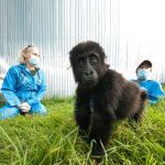 Rescate de gorilas