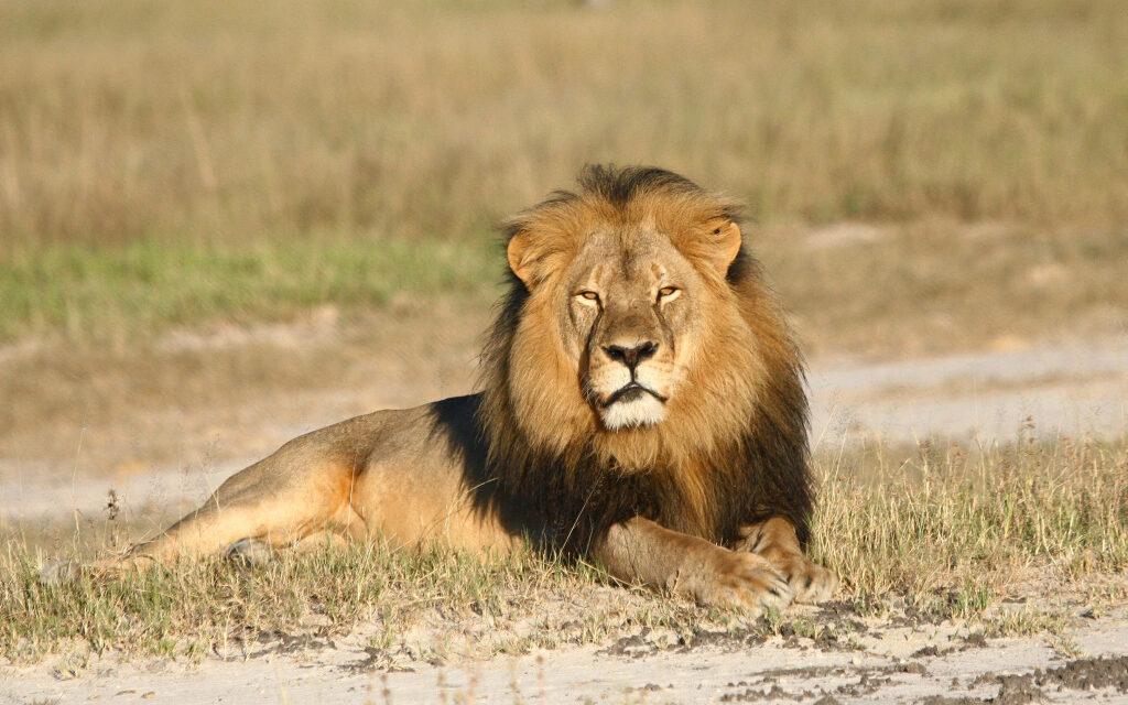 Revelan que el león Cecil sufrió una dolorosa agonía durante 10 horas