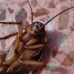 ¿Sabes que las cucarachas están deseando entrar en tus oídos?