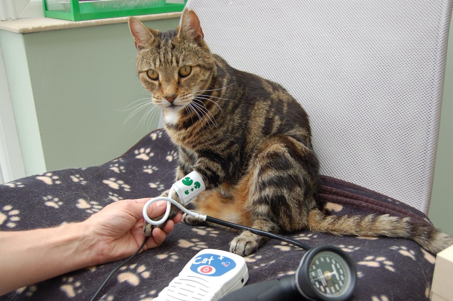 ¿Sabes si tu gato es hipertenso?