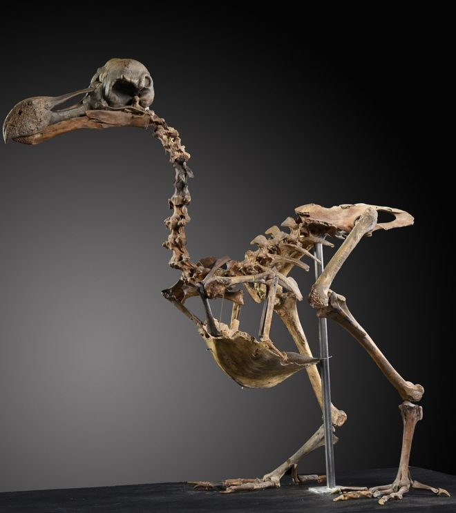 Sale a subasta un esqueleto de pájaro Dodo. ¿Quién da más?