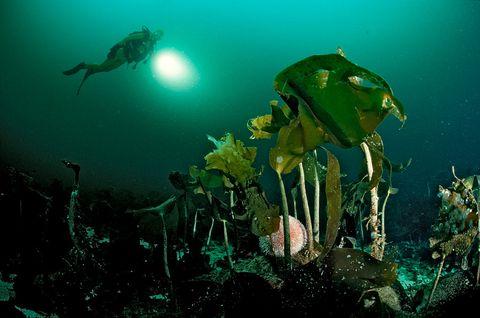 Cuando las algas gobiernan los mares
