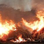¿Sirvió de algo quemar 100.000 kilos de marfil?
