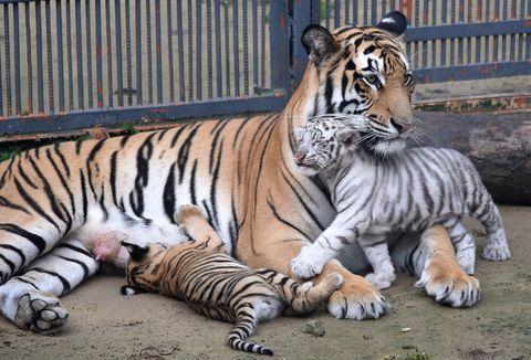 Hay 6 subespecies de tigres