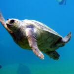 Tortugas sin caparazón: así eran estos reptiles hace millones de años