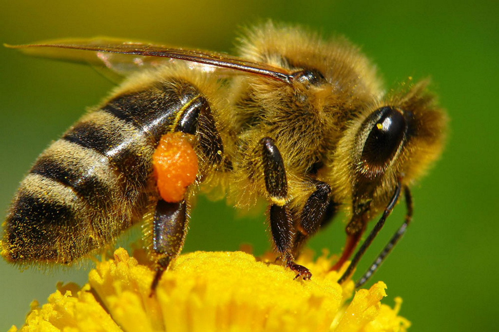 Transforman abejas normales en asesinas