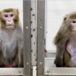 Transmiten información directamente al cerebro de dos simios