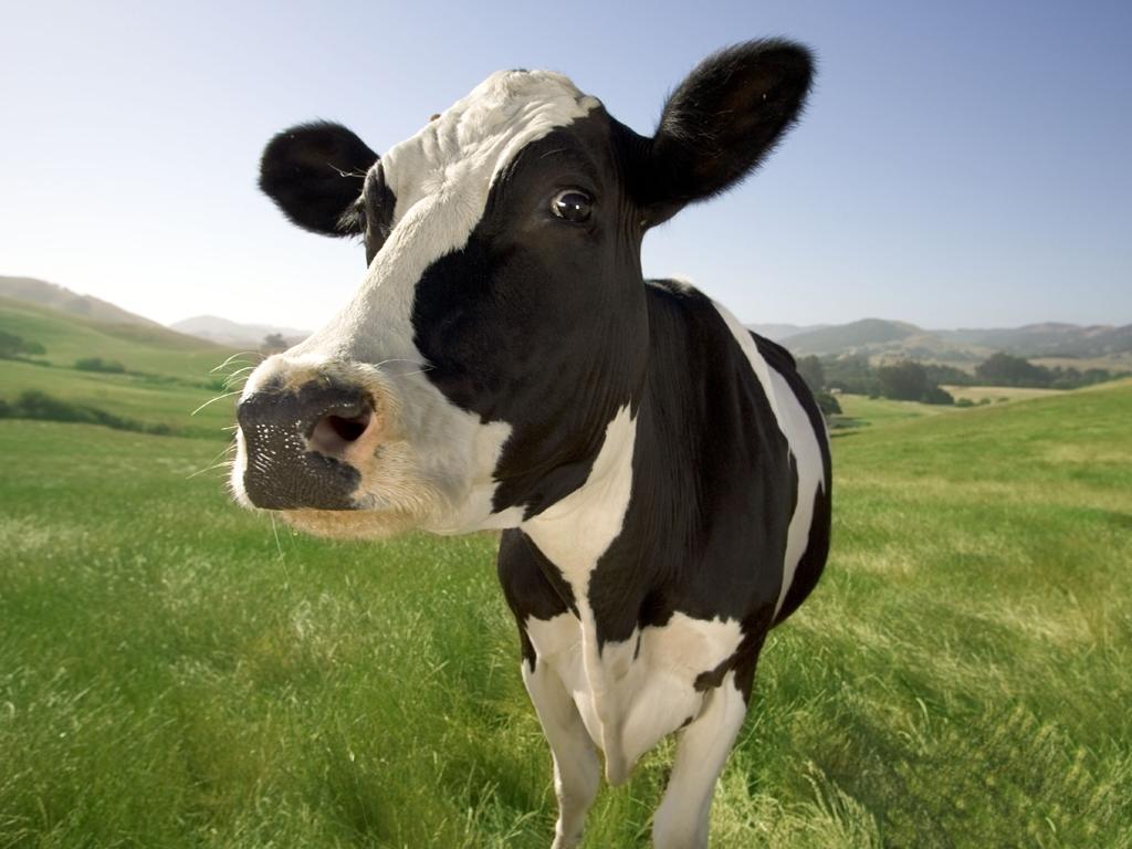Trece vacas nazis acaban convertidas en salchichas