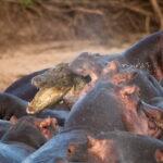 Un cocodrilo aniquilado por una manada de hipopótamos