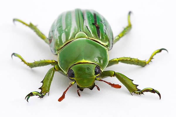 Un escarabajo revoluciona la ciencia óptica