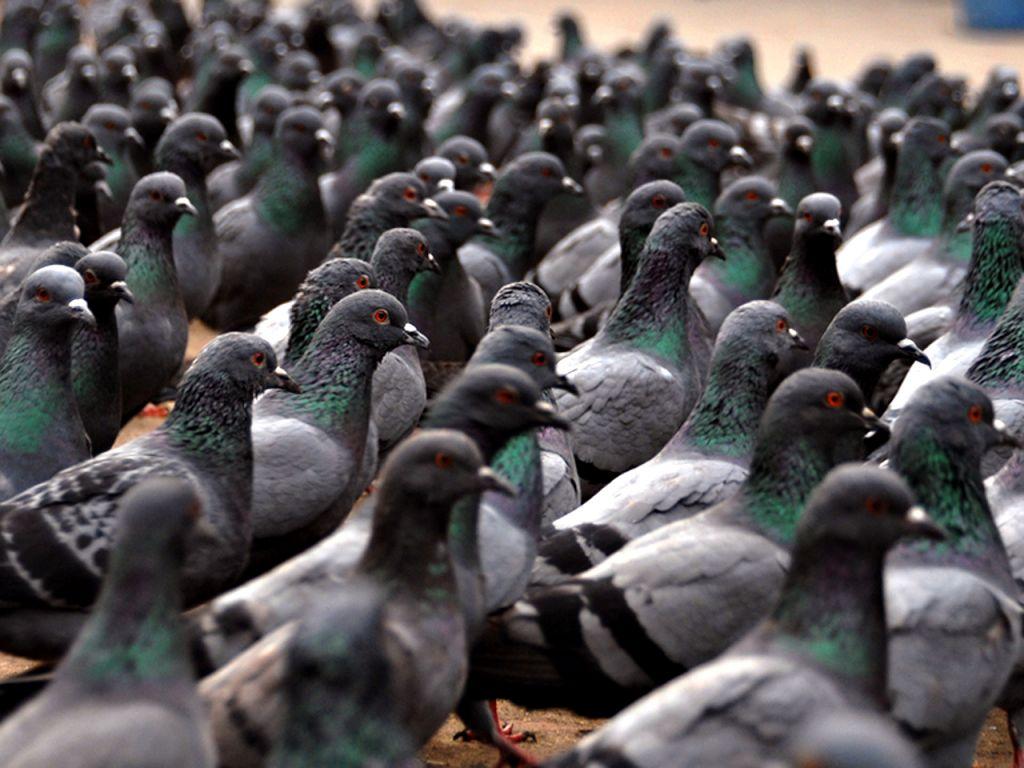 Un grupo de palomas desafía cuánticamente al gato de Schrödinger