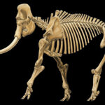 Un primo de 1,5 millones de años para los elefantes