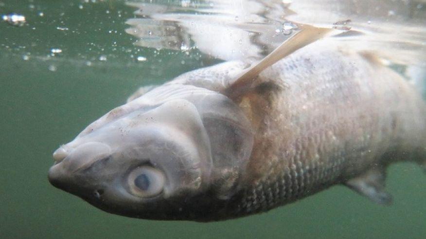 Un parásito mata a unos diez mil peces