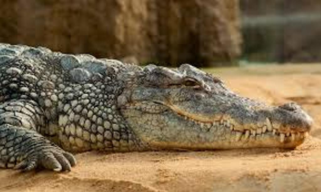 Una muchedumbre mata en venganza a 300 cocodrilos en Nueva Guinea
