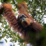 Una nueva especie de orangután