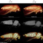 Una nueva técnica permite ver insectos vivos por dentro