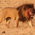 Uno de los furtivos más buscados de África ha sido devorado por leones