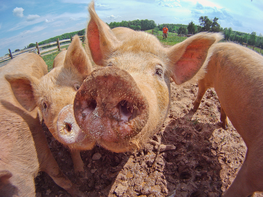 Usan edición genética para eliminar virus en cerdos vivos