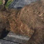 Ya se sabe qué era realmente el supuesto hombre lobo de Montana