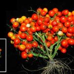 Estos son los racimos de tomates que podrían ir a Marte