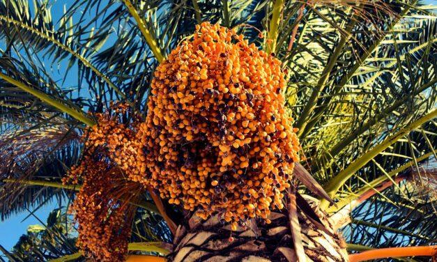 Palmeras datileras brotan de semillas de 2.000 años de antigüedad