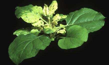 Una planta, familia del tabaco, servirá para producir vacunas contra el coronavirus de forma rápida