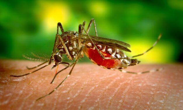 Un hongo microscópico es capaz de detener la malaria