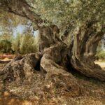 Árboles milenarios de España: pocos, resistentes y muy sabios