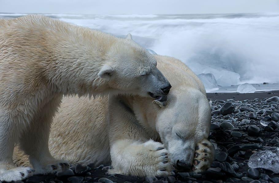 Los osos polares se extinguirán en 2100