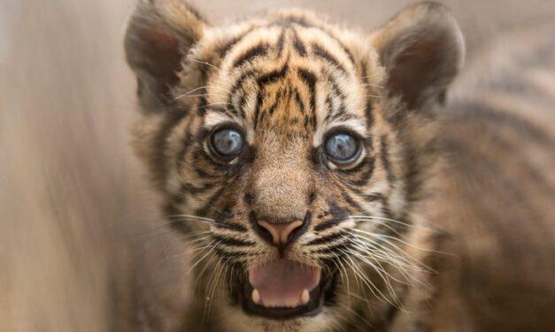 Nace el primer cachorro de tigre de Sumatra en 20 años