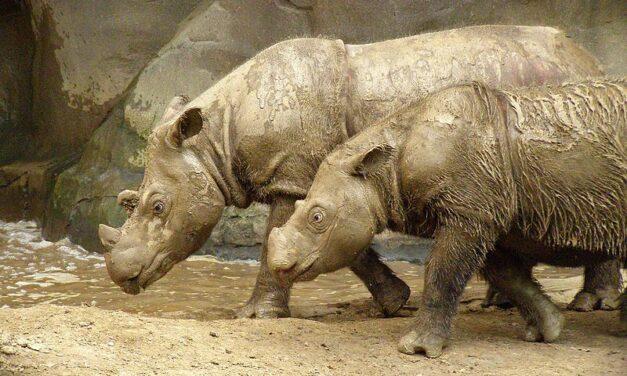Los científicos quieren clonar a rinocerontes de Sumatra muertos para recuperar la especie