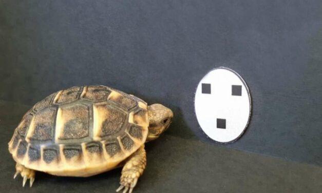 La obsesión de los recién nacidos humanos por las caras también la tienen las crías de tortuga