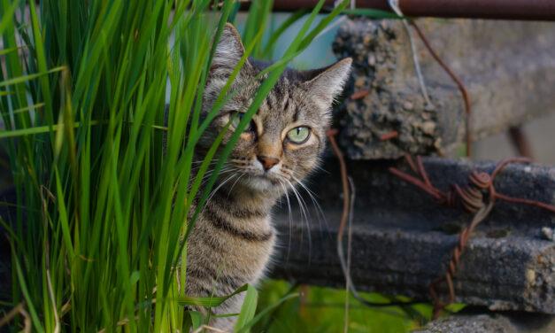 ¿Por qué comen hierba los gatos?