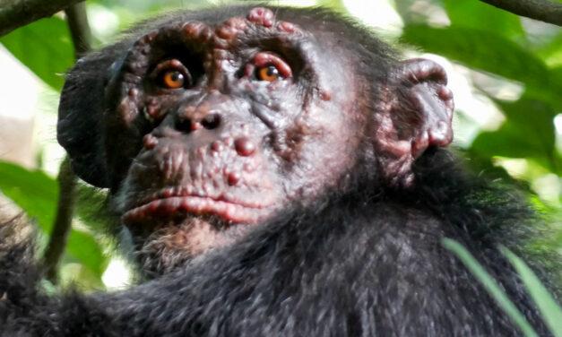 La lepra ha llegado a los chimpancés salvajes