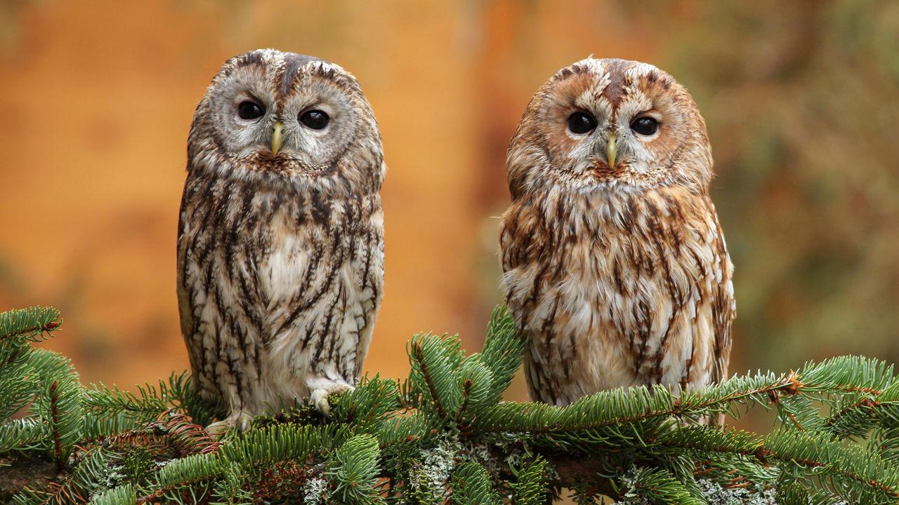 Ca_0108nid_tawny_owl_online
