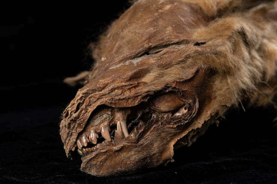 Un lobo momificado de hace 57.000 años descubierto bajo el hielo de Canadá