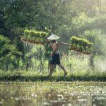 La bacteria que protege la planta del arroz