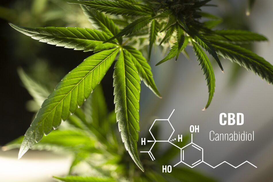 El CBD, un componente del cannabis, es el antibiótico del futuro