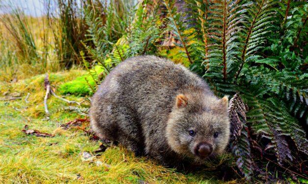 ¿Por qué las cacas de los wombat son cuadradas?