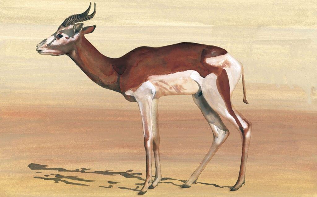 Gacela del Yemen