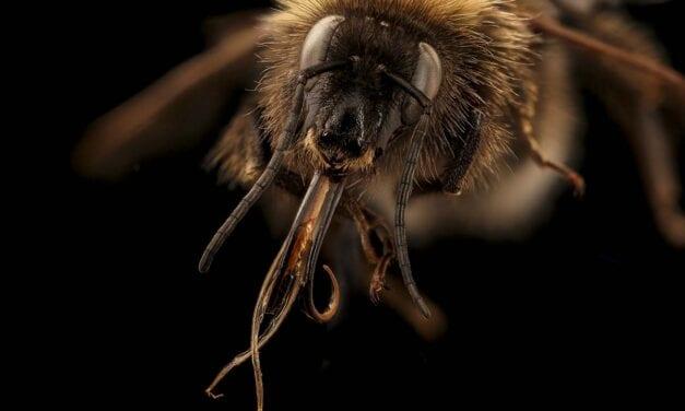 Estudian el cerebro del abejorro común