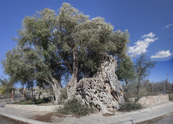 árboles singulares España